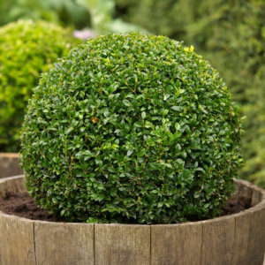 simsir-buxus-sempervirens