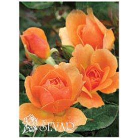 ruze-mnogocvetne-floribunde-alison