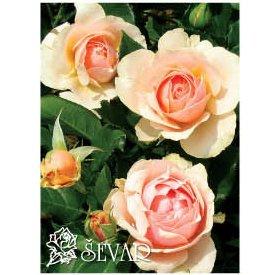 ruze-mnogocvetne-floribunde-amber-kvin-amber-queen