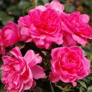 ruze-mnogocvetne-floribunde-barlenburg