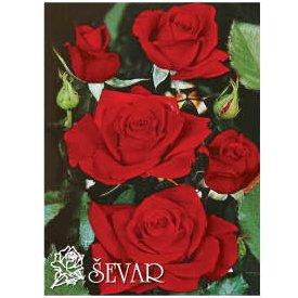 ruze-mnogocvetne-floribunde-nikolo-paganini-niccolo-paganini