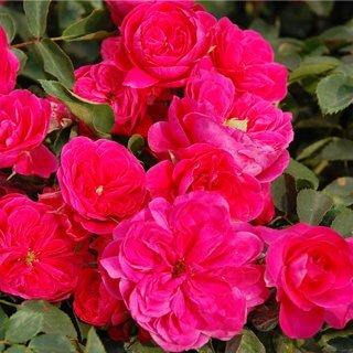 ruze-mnogocvetne-floribunde-sangria