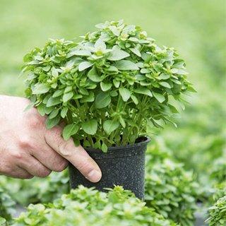 Začinsko, aromatično i lekovito bilje