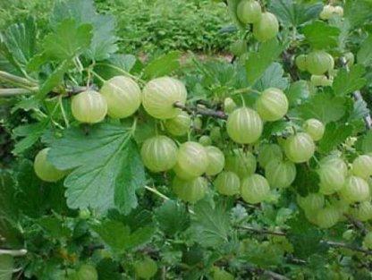 jagodasto-voce-ogrozd-zeleni-ogrozd-hinnomaki-gron-2