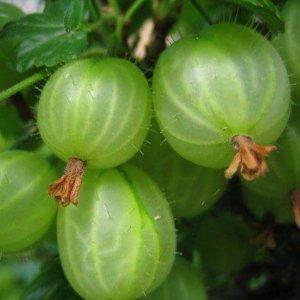 jagodasto-voce-ogrozd-zeleni-ogrozd-hinnomaki-gron