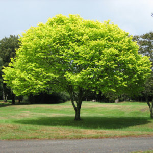 Lišćarsko drveće