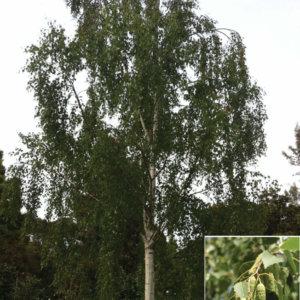 liscarsko-drvece-breza-betula-verrucosa