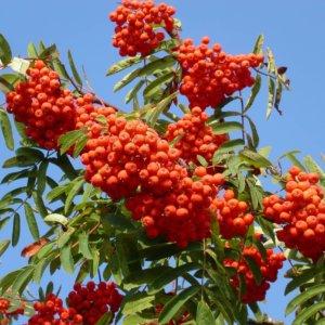liscarsko-drvece-jarebika-sorbus-aucuparia-2