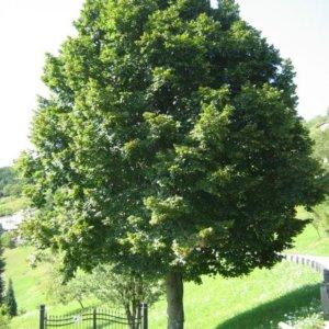 liscarsko-drvece-krupnolisna-lipa-tilia-platyphyllos-2
