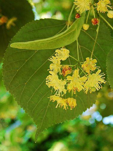 liscarsko-drvece-krupnolisna-lipa-tilia-platyphyllos