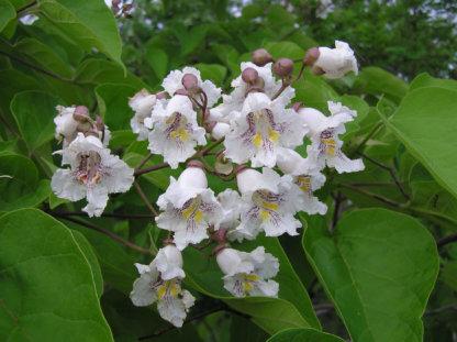 liscarsko-drvece-kuglasta-katalpa-catalpa-bignonioides-nana-3
