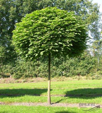 liscarsko-drvece-kuglasta-katalpa-catalpa-bignonioides-nana