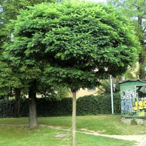 liscarsko-drvece-kuglasti-bagrem-robinia-pseudoacacia-umbraculifera-3