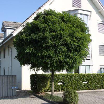 kuglasti bagrem robinia pseudoacacia 39 umbraculifera. Black Bedroom Furniture Sets. Home Design Ideas