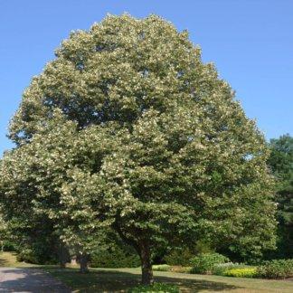liscarsko-drvece-srebrna-lipa-tilia-tomentosa