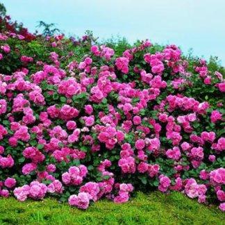 Ruže Polegle