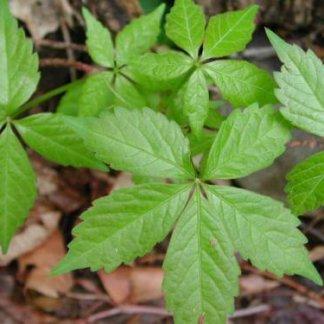 puzavice-penjacice-parthenocissus-quinquefolia-3