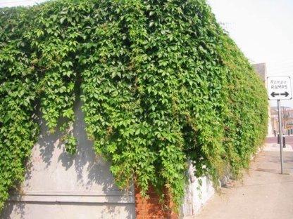 puzavice-penjacice-parthenocissus-quinquefolia
