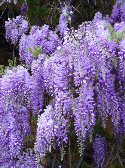 puzavice-penjacice-plava-kisa-wisteria-sinensis-2