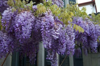 puzavice-penjacice-plava-kisa-wisteria-sinensis-3