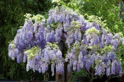 puzavice-penjacice-plava-kisa-wisteria-sinensis