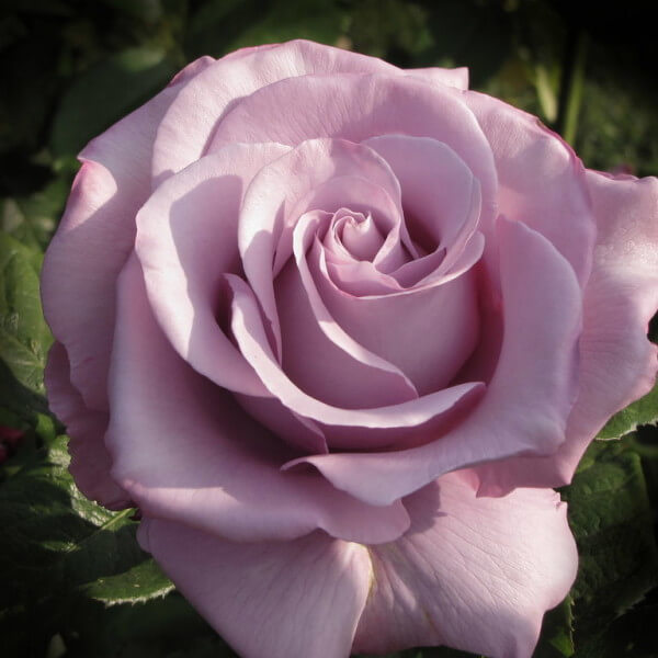 ruze-cajevke-melodi-parfem-melodie-parfume