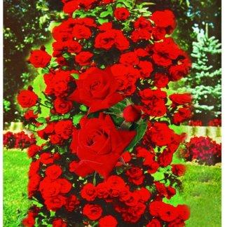 Ruže Grmolike