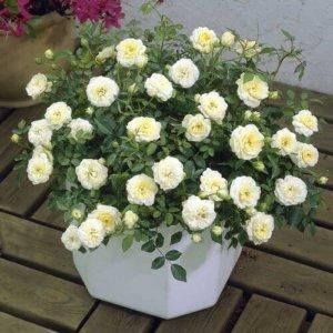 Ruže Mini - patuljaste