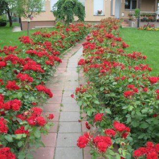 Ruže Mnogocvetne (floribunde)