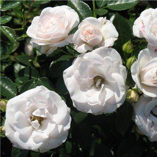 ruze-mnogocvetne-floribunde-aspirin-aspirin-2