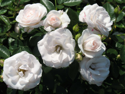 ruze-mnogocvetne-floribunde-aspirin-aspirin