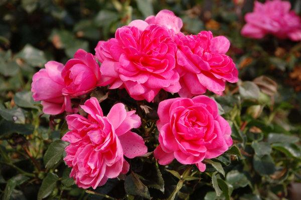 ruze-mnogocvetne-floribunde-barlenburg-barleburg