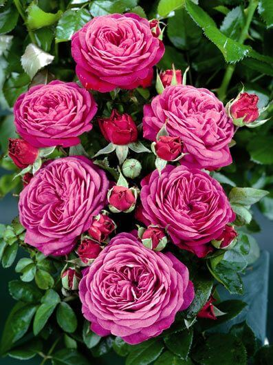 ruze-mnogocvetne-floribunde-hajdi-klum-heidi-klum