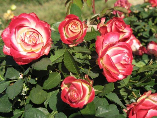 ruze-mnogocvetne-floribunde-jubilej-princes-de-monako-jubile-du-prince-de-monaco-2