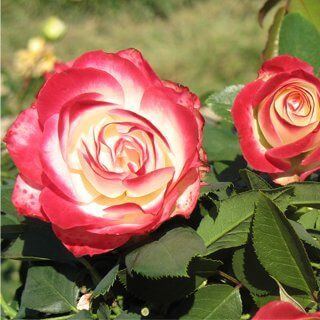 ruze-mnogocvetne-floribunde-jubilej-princes-de-monako-jubile-du-prince-de-monaco