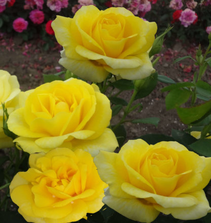 ruze-mnogocvetne-floribunde-karte-de-or-carte-d'Or