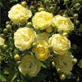 ruze-mnogocvetne-floribunde-komtes-di-bar-comtesse-du-barry