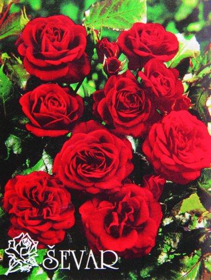 ruze-mnogocvetne-floribunde-lavaglut