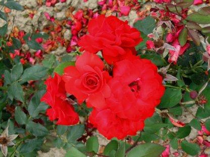 ruze-mnogocvetne-floribunde-sacmo-satchmo