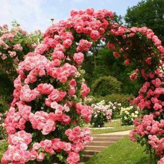 Ruže Penjačice (ruže puzavice)