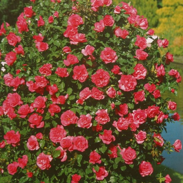 ruze-penjacice-puzavice-rozarijum-utersen-rosarium-utersen