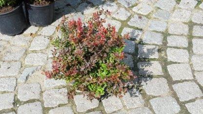 ukrasni-grmovi-berberis-thunbergii-coronita-1
