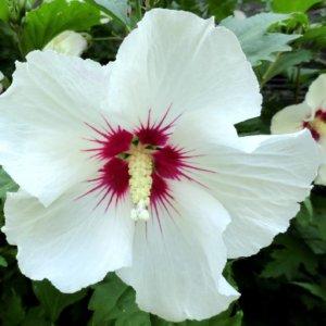 ukrasni-grmovi-hibiskus-hibiscus-syriacus-2
