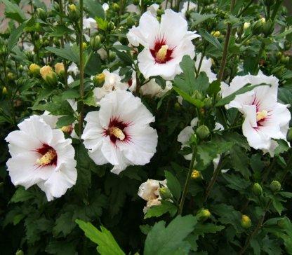 ukrasni-grmovi-hibiskus-hibiscus-syriacus