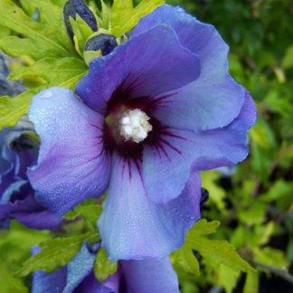 ukrasni-grmovi-hibiskus-plavi-hibiscus-syriacus-oiseau-bleu