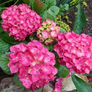 ukrasni-grmovi-hortenzija-hydrngea-macrophylla-2