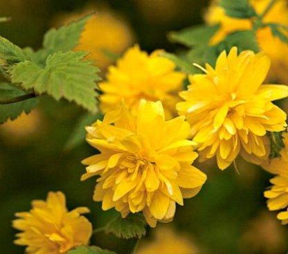 ukrasni-grmovi-kerija-kerria-japonica