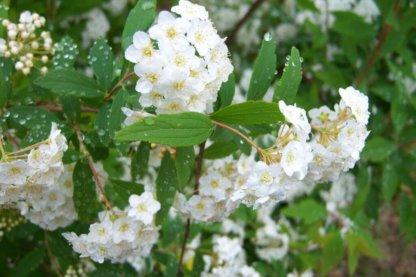 ukrasni-grmovi-spirea-spiraea-x-vanhouttei-2