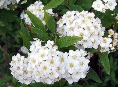 ukrasni-grmovi-spirea-spiraea-x-vanhouttei-3
