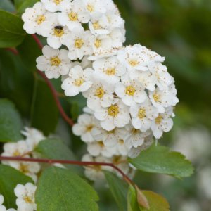 ukrasni-grmovi-spirea-spiraea-x-vanhouttei-4